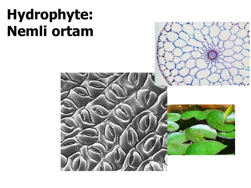 Hydrophyte: Nemli ortam