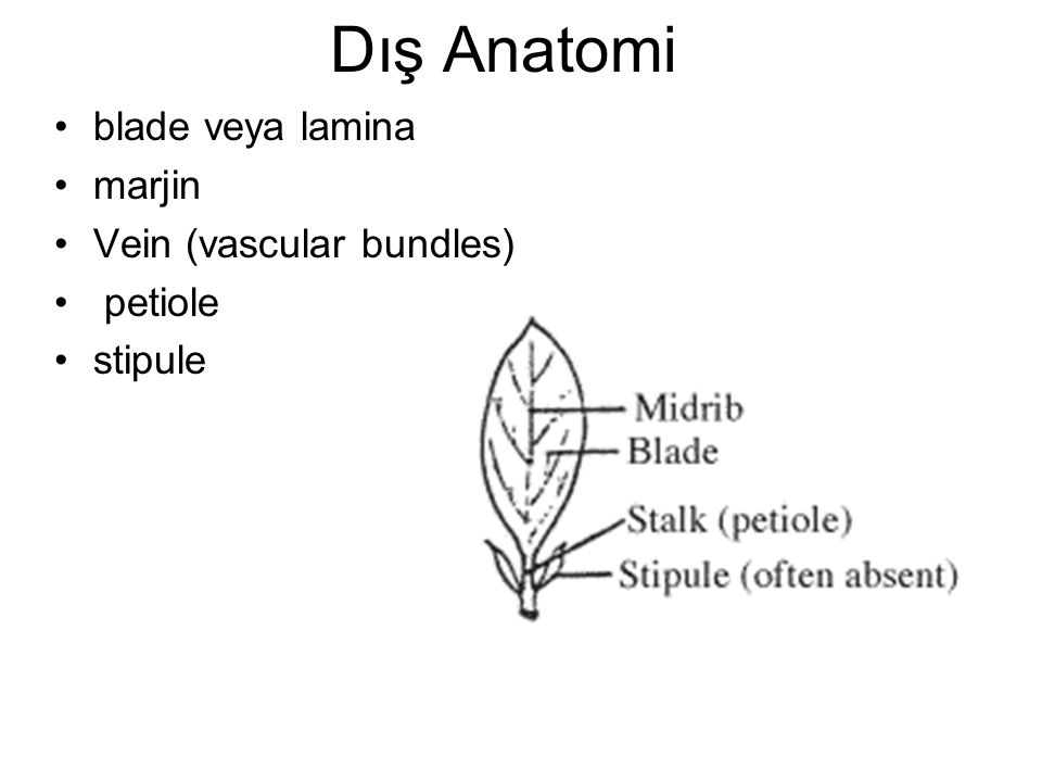 Dış Anatomi blade veya lamina marjin Vein (vascular bundles) petiole stipule