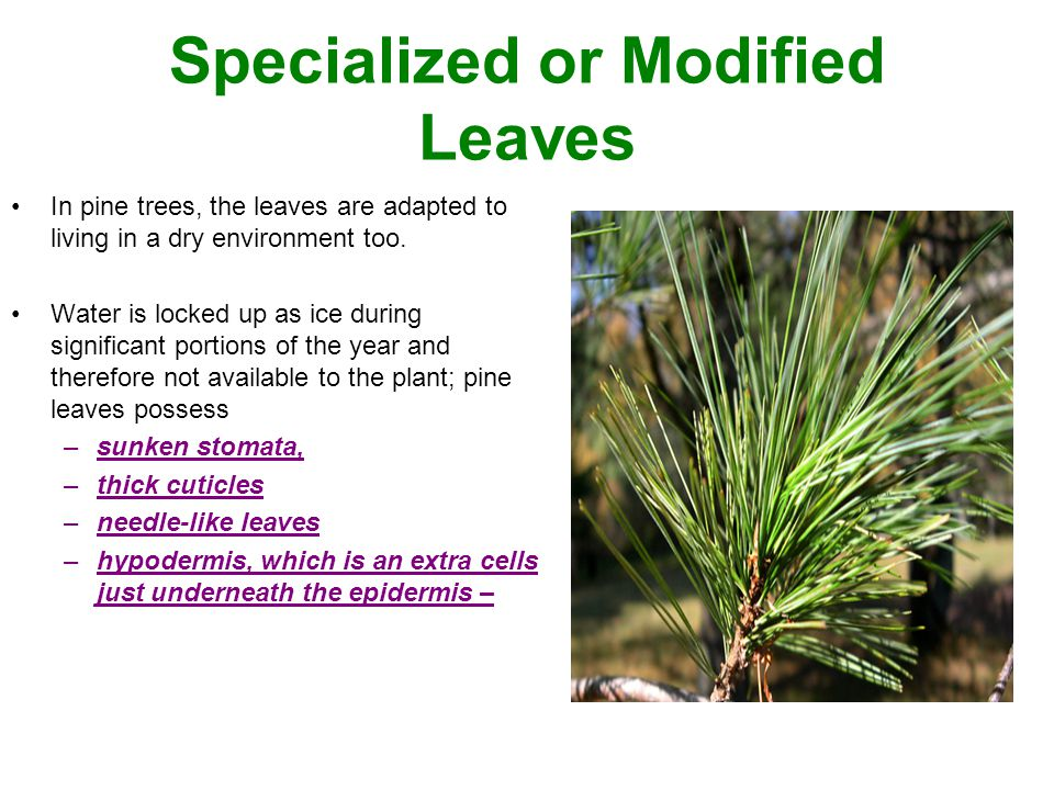Specialized or Modified Leaves In pine trees, the leaves are adapted to living in a dry environment too. Water is locked up as ice during significant