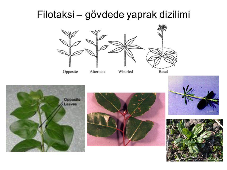 Filotaksi – gövdede yaprak dizilimi