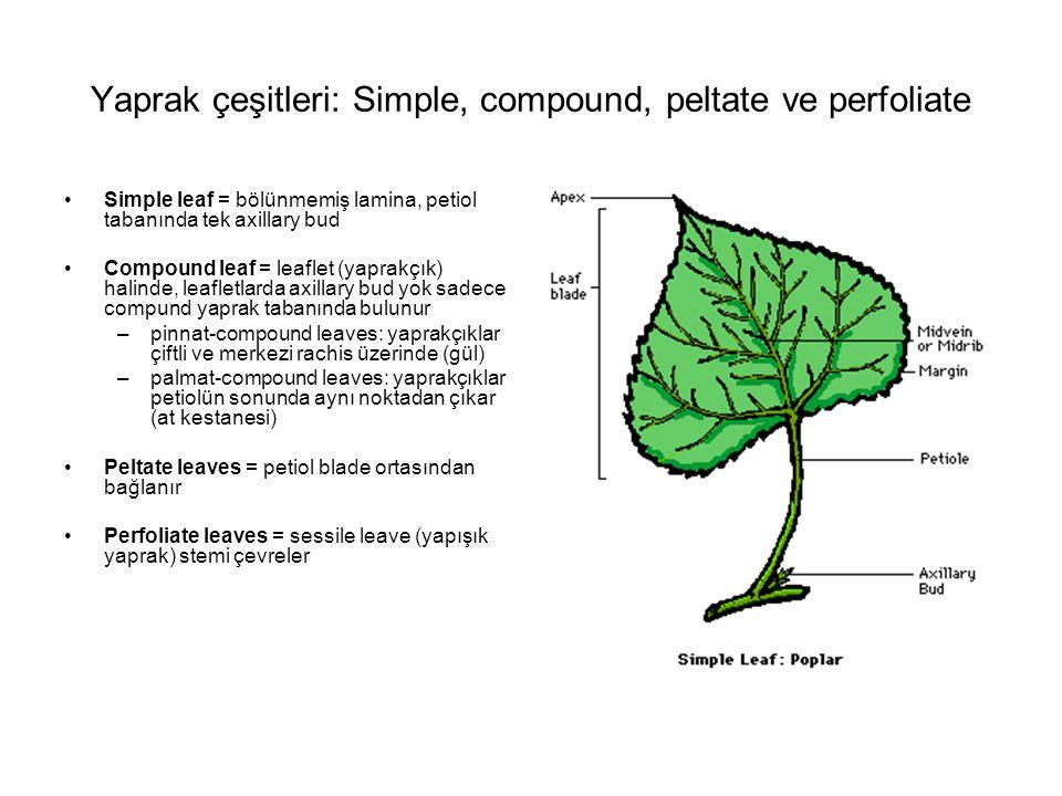 Yaprak çeşitleri: Simple, compound, peltate ve perfoliate Simple leaf = bölünmemiş lamina, petiol tabanında tek axillary bud Compound leaf = leaflet (yaprakçık) halinde, leafletlarda axillary bud yok sadece compund yaprak tabanında bulunur –pinnat-compound leaves: yaprakçıklar çiftli ve merkezi rachis üzerinde (gül) –palmat-compound leaves: yaprakçıklar petiolün sonunda aynı noktadan çıkar (at kestanesi) Peltate leaves = petiol blade ortasından bağlanır Perfoliate leaves = sessile leave (yapışık yaprak) stemi çevreler