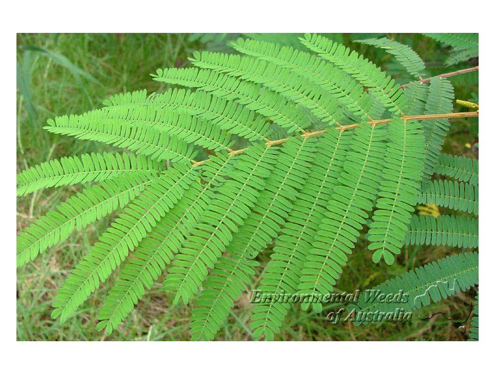 Peltate & Perfoliate Leaves Mayapple Yellow Wort