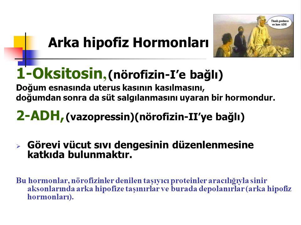 1-Oksitosin, (nörofizin-I'e bağlı) Doğum esnasında uterus kasının kasılmasını, doğumdan sonra da süt salgılanmasını uyaran bir hormondur. 2-ADH, (vazo