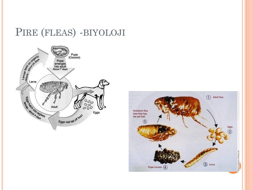 P IRE ( FLEAS ) - BIYOLOJI