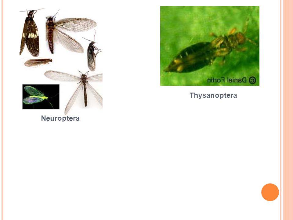 Neuroptera Thysanoptera
