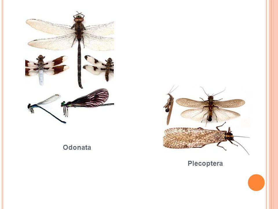 Odonata Plecoptera