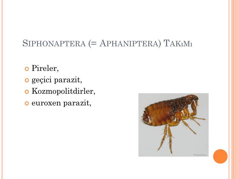S IPHONAPTERA (= A PHANIPTERA ) T AKıMı Pireler, geçici parazit, Kozmopolitdirler, euroxen parazit,