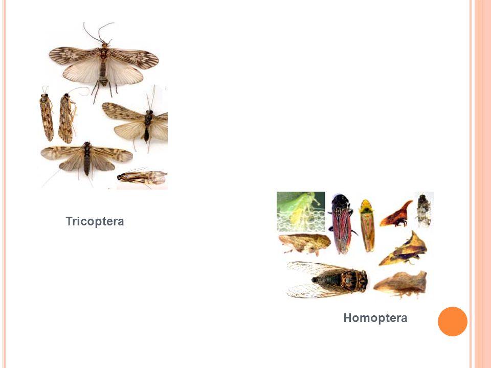 Tricoptera Homoptera