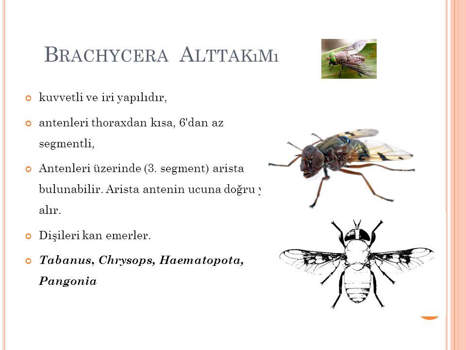 B RACHYCERA A LTTAKıMı kuvvetli ve iri yapılıdır, antenleri thoraxdan kısa, 6'dan az segmentli, Antenleri üzerinde (3. segment) arista bulunabilir. Ar