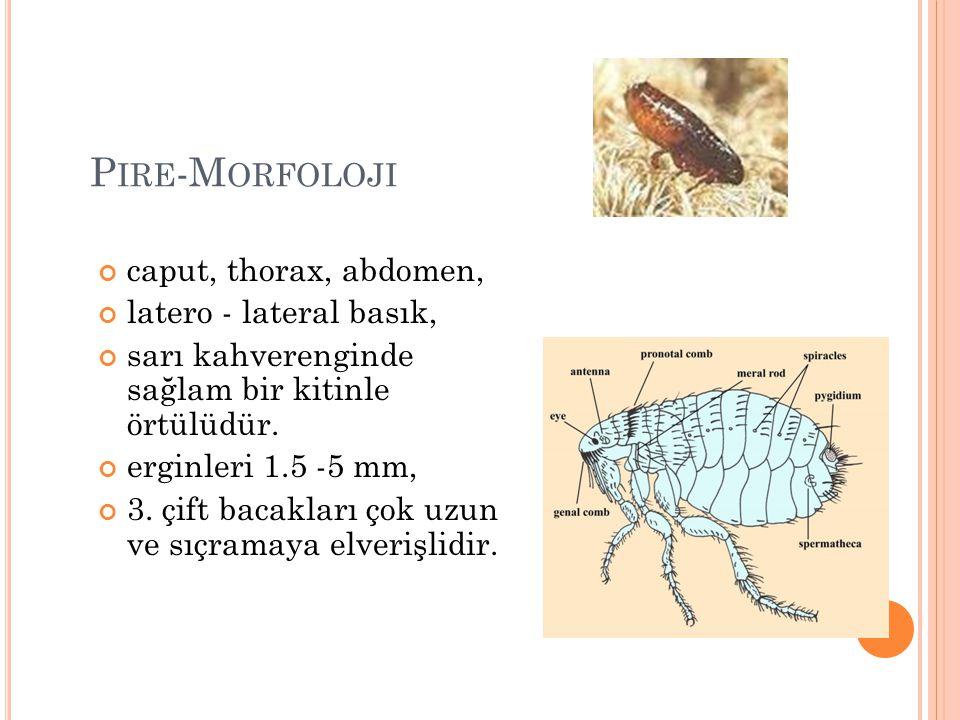 P IRE -M ORFOLOJI caput, thorax, abdomen, latero - lateral basık, sarı kahverenginde sağlam bir kitinle örtülüdür. erginleri 1.5 -5 mm, 3. çift bacakl