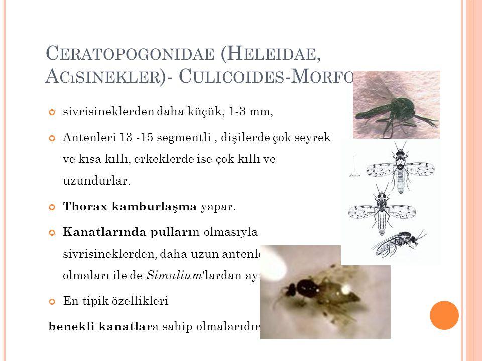 C ERATOPOGONIDAE (H ELEIDAE, A CıSINEKLER )- C ULICOIDES -M ORFOLOJI sivrisineklerden daha küçük, 1-3 mm, Antenleri 13 -15 segmentli, dişilerde çok se