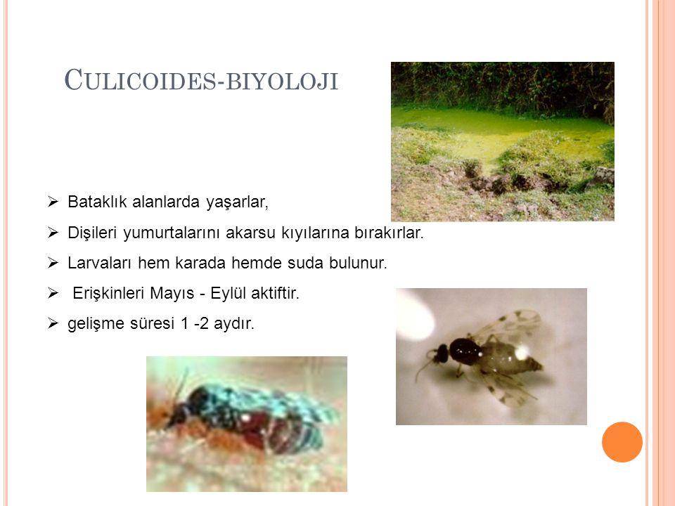 C ULICOIDES - BIYOLOJI  Bataklık alanlarda yaşarlar,  Dişileri yumurtalarını akarsu kıyılarına bırakırlar.  Larvaları hem karada hemde suda bulunur