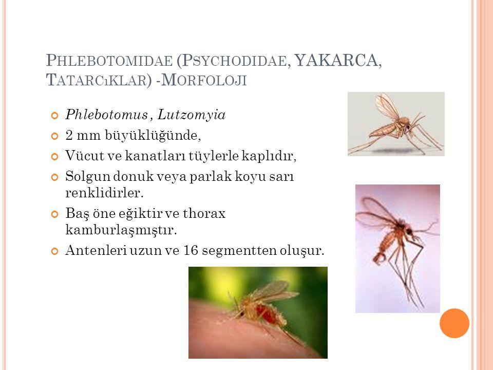 P HLEBOTOMIDAE (P SYCHODIDAE, YAKARCA, T ATARCıKLAR ) -M ORFOLOJI Phlebotomus, Lutzomyia 2 mm büyüklüğünde, Vücut ve kanatları tüylerle kaplıdır, Solg