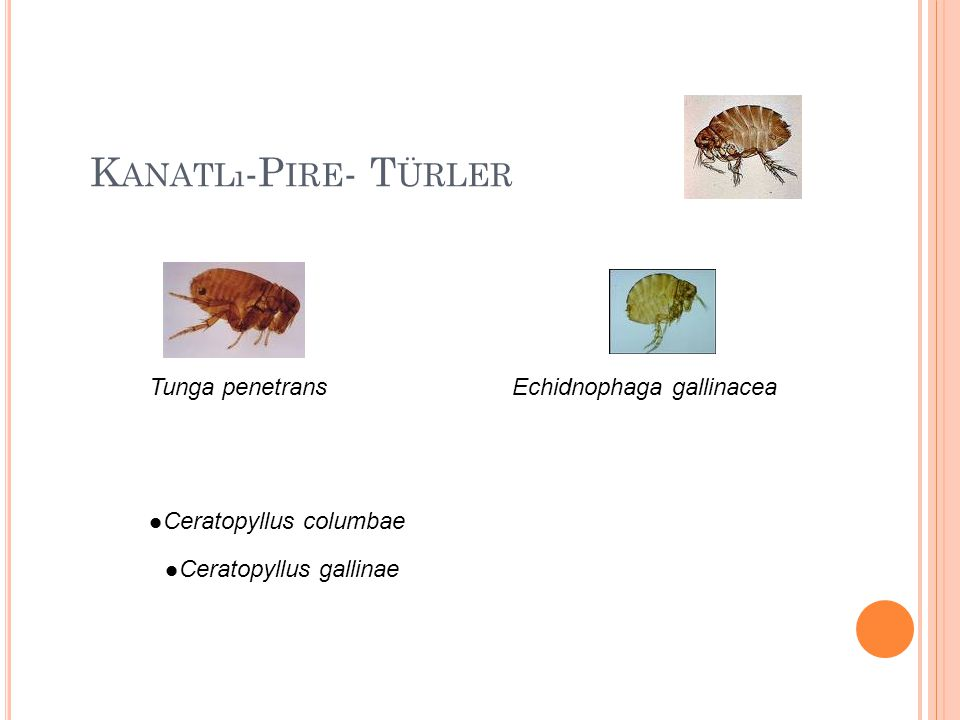 K ANATLı -P IRE - T ÜRLER Tunga penetransEchidnophaga gallinacea Ceratopyllus gallinae Ceratopyllus columbae