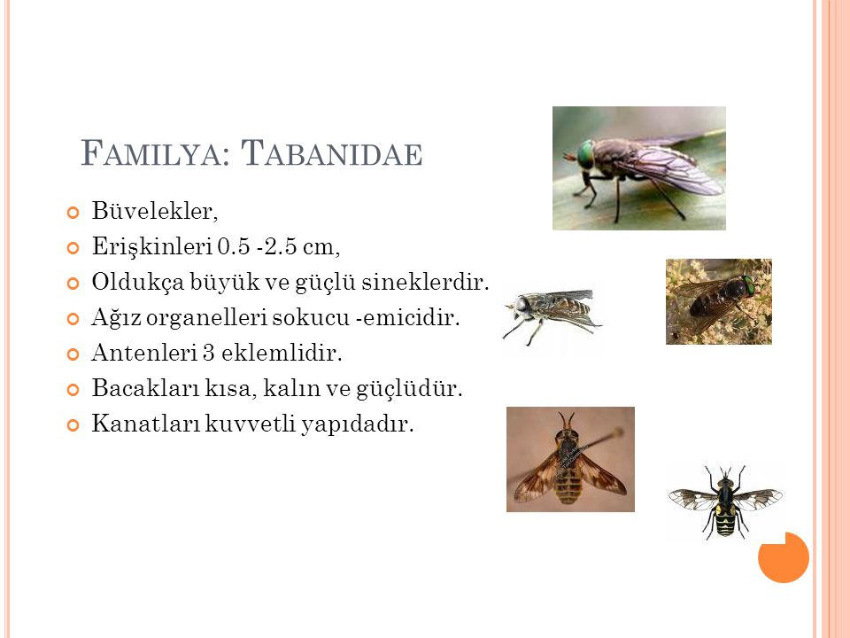 F AMILYA : T ABANIDAE Büvelekler, Erişkinleri 0.5 -2.5 cm, Oldukça büyük ve güçlü sineklerdir. Ağız organelleri sokucu -emicidir. Antenleri 3 eklemlid