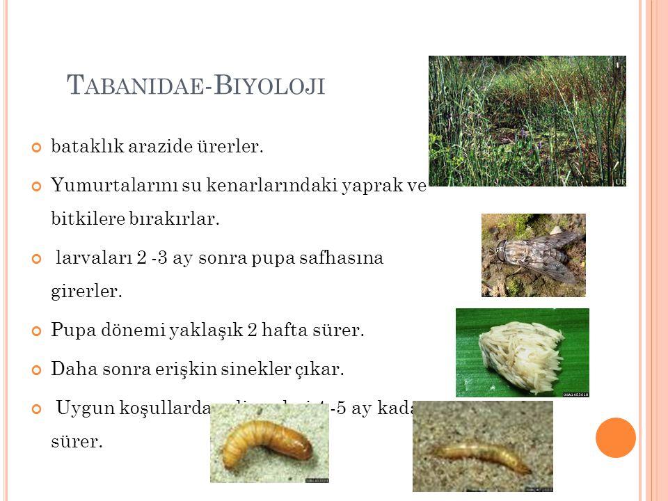 T ABANIDAE -B IYOLOJI bataklık arazide ürerler. Yumurtalarını su kenarlarındaki yaprak ve bitkilere bırakırlar. larvaları 2 -3 ay sonra pupa safhasına