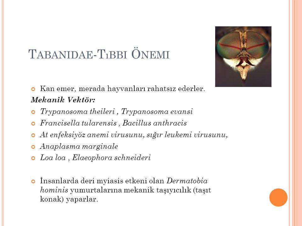 T ABANIDAE -T ıBBI Ö NEMI Kan emer, merada hayvanları rahatsız ederler. Mekanik Vektör: Trypanosoma theileri, Trypanosoma evansi Francisella tularensi