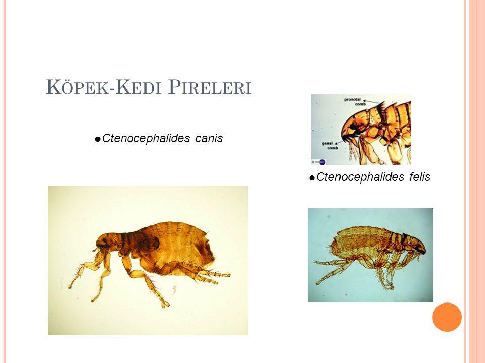 Diptera AilesiDiptera CinsiHastalık Culicidae (Sivrisinekler) Culex, Anophelse, Aedes, Mansonia Malaria, Dirofilariosis, Filariosis, Ensefalitis, Kanatlı çiçeği, Sarı humma, Dang humması Ceratopogonidae (Heleidae, Acısinekler) CulicoidesMavidil, Onchocercosis, dermatitler Simuliidae (Kara sivrisinekler)SimuliumLeucocytozoonosis, Onchocercosis, dermatitler Phlebotomidae (Tatarcıklar) Phlebotomus, Lutzomyia Leishmaniosis, Bartonellosis, tatarcık humması Tabanidae Tabanus, Haematopota, Chrysops, Pangonia Anaplasmosis, Tularemi, Şarbon, Yanıkara, At enfeksiyöz anemisi, Muscidae (Karasinekler) Musca, Fannia, Stomoxys, Hydrotaea, Haematobia Enterik hastalıklar (Giardia, Entamoeba), kolera, tifo, mastitis, anthrax, konjonktivit, Habronema, Stephanofilaria, Trypanosoma Glossinidae (Çecesinekleri)GlossinaTrypanosomiosis, Uyku hastalığı, Nagana İnsan ve hayvanlarda bulunan önemli Diptera'lar ( sinekler ) ile bunların neden olduğu yada naklettiği hastalıklar