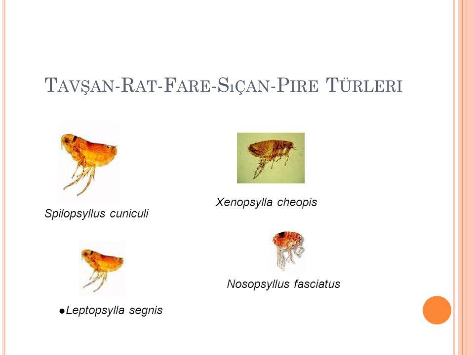 T AVŞAN -R AT -F ARE -S ıÇAN -P IRE T ÜRLERI Spilopsyllus cuniculi Xenopsylla cheopis Leptopsylla segnis Nosopsyllus fasciatus