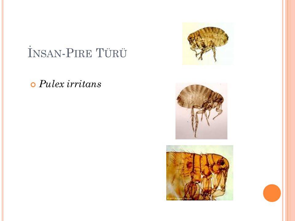 İ NSAN -P IRE T ÜRÜ Pulex irritans