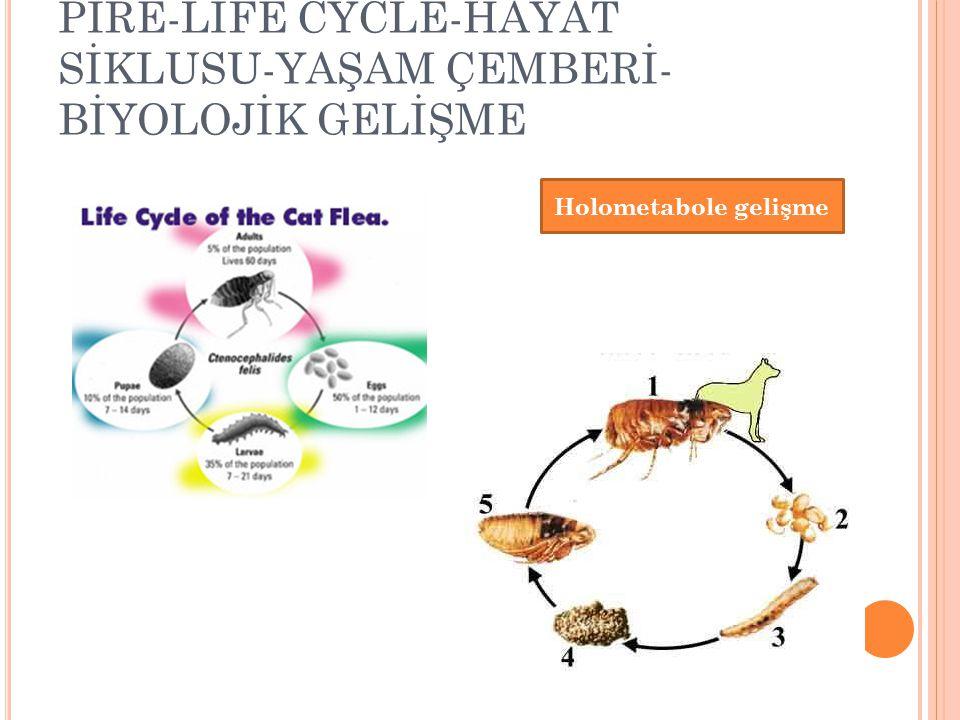 PİRE-LİFE CYCLE-HAYAT SİKLUSU-YAŞAM ÇEMBERİ- BİYOLOJİK GELİŞME Holometabole gelişme