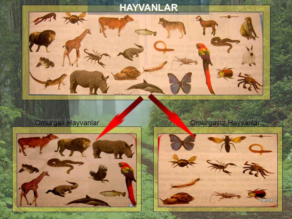Canlıları Memeli ve Memesiz Olarak Sınıflandıralım Memeli hayvanlar Balina, inek, aslan, zürafa,tavşan, kedi, leopar, su aygırı, yunus gibi… Memesiz h