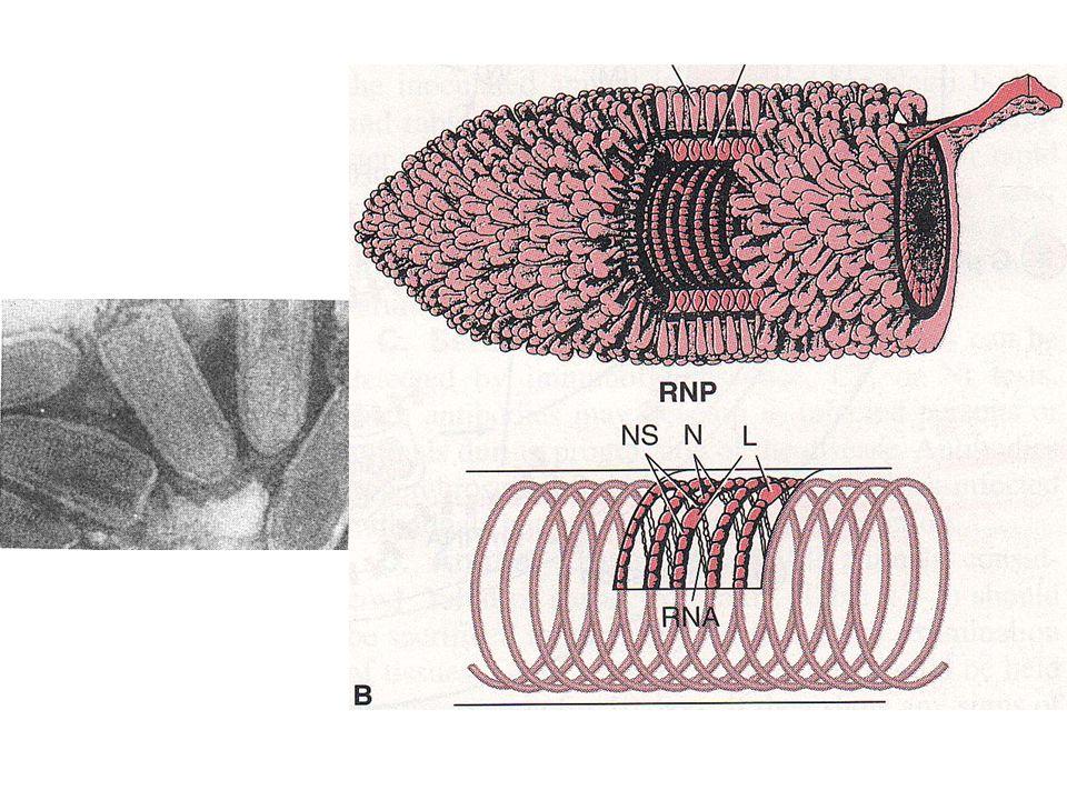 Yapı 50-95 nm x 130-380 nm G glikoproteinleri var ( Viral tutunma proteinleri) Helikal simetrili nukleokapsid Sitoplazmada replikasyon Zarf ve salınma hücre plasma membranından