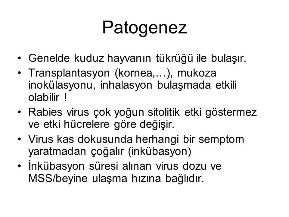 Patogenez Genelde kuduz hayvanın tükrüğü ile bulaşır. Transplantasyon (kornea,…), mukoza inokülasyonu, inhalasyon bulaşmada etkili olabilir ! Rabies v