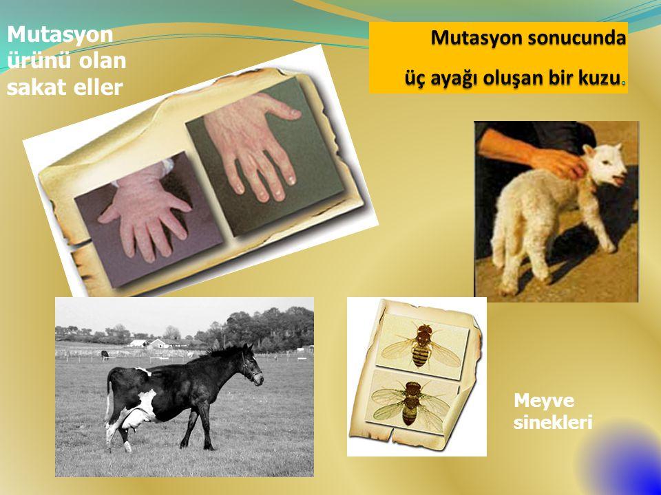 Mutasyon ürünü olan sakat eller Meyve sinekleri