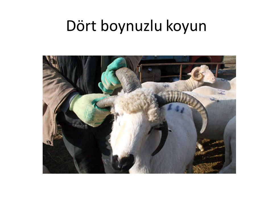 Dört boynuzlu koyun