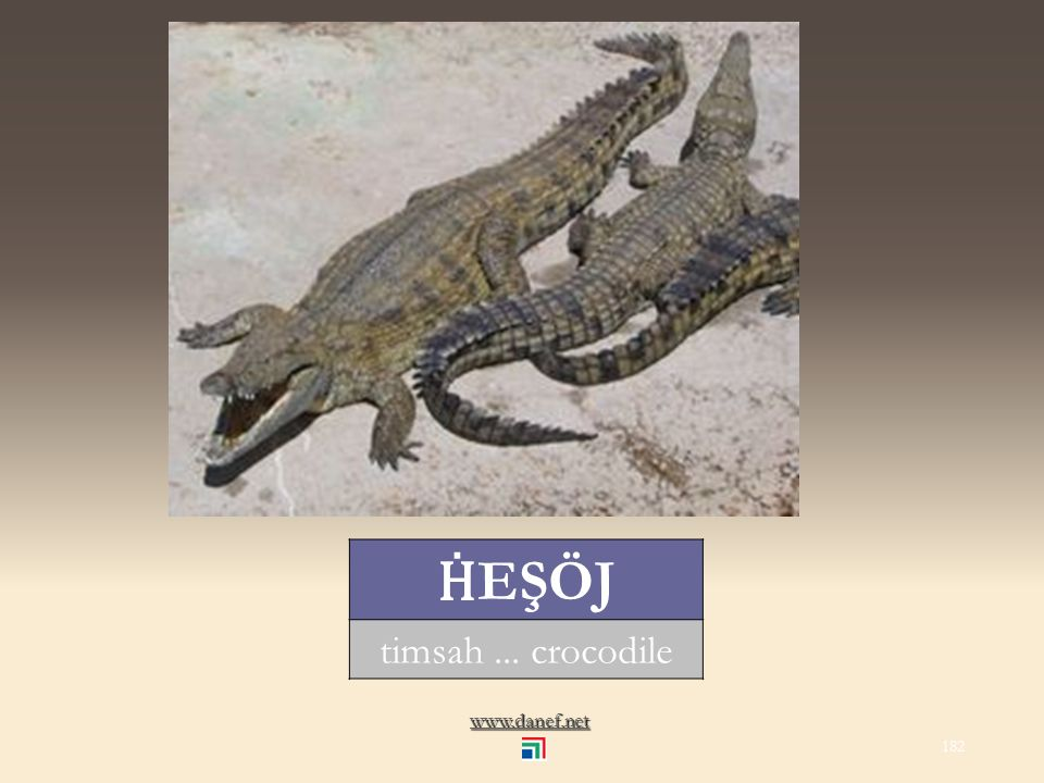 www.danef.net HAN Ṫ RAKO kurbağa... frog 181