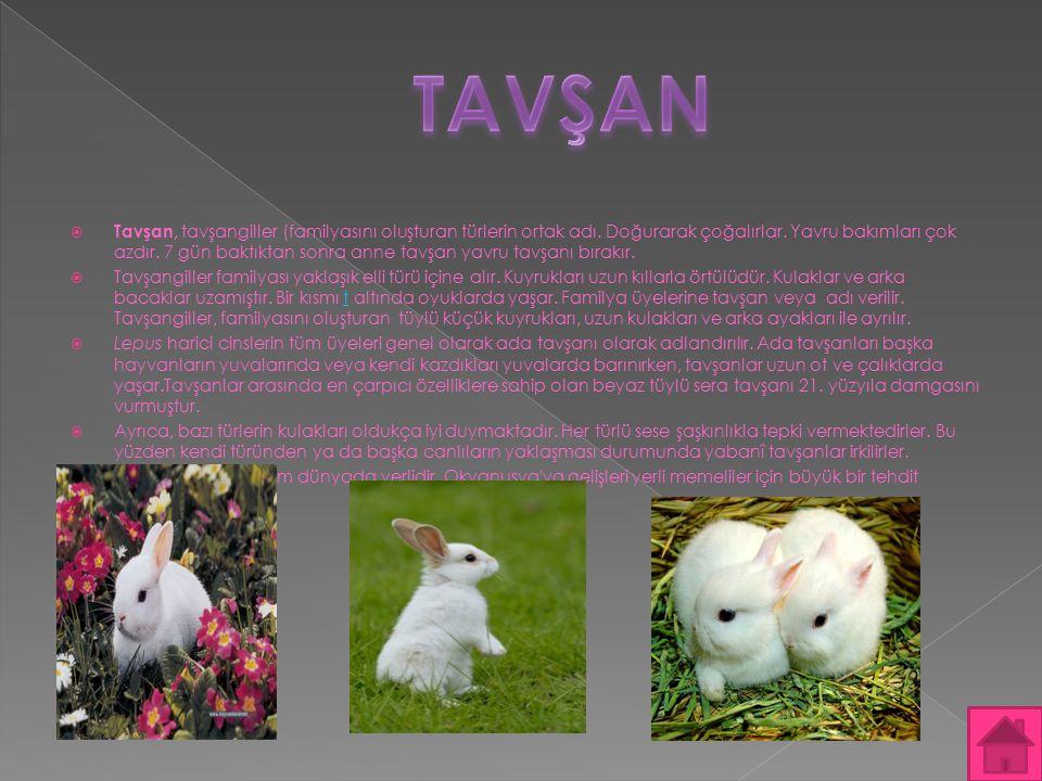  Tavşan, tavşangiller (familyasını oluşturan türlerin ortak adı. Doğurarak çoğalırlar. Yavru bakımları çok azdır. 7 gün baktıktan sonra anne tavşan y