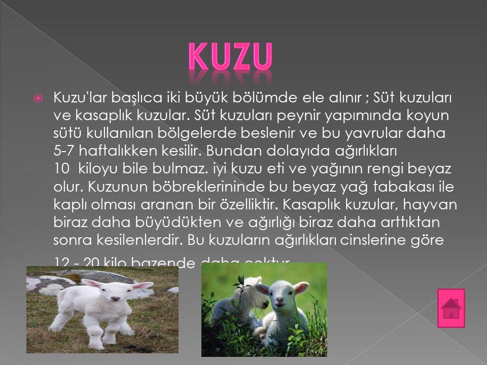  Kuzu'lar başlıca iki büyük bölümde ele alınır ; Süt kuzuları ve kasaplık kuzular. Süt kuzuları peynir yapımında koyun sütü kullanılan bölgelerde bes