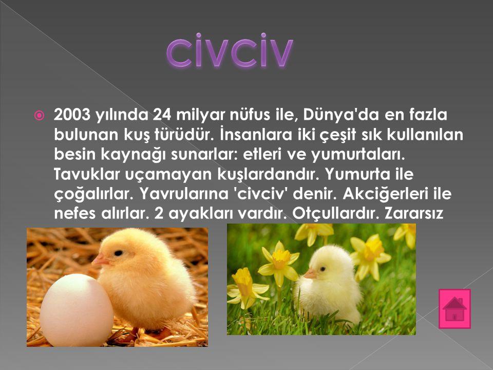  2003 yılında 24 milyar nüfus ile, Dünya'da en fazla bulunan kuş türüdür. İnsanlara iki çeşit sık kullanılan besin kaynağı sunarlar: etleri ve yumurt