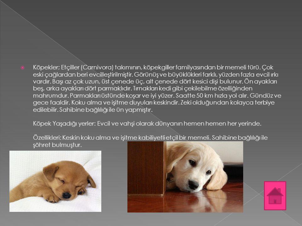  Köpekler; Etçiller (Carnivora) takımının, köpekgiller familyasından bir memeli türü. Çok eski çağlardan beri evcilleştirilmiştir. Görünüş ve büyüklü