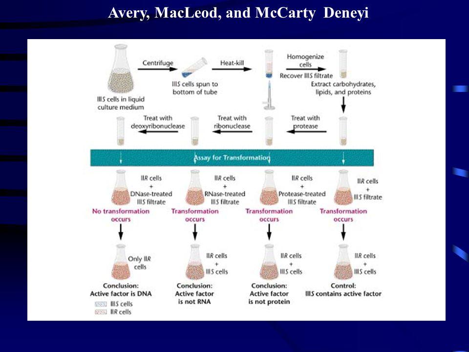 Avery, MacLeod, and McCarty Deneyi