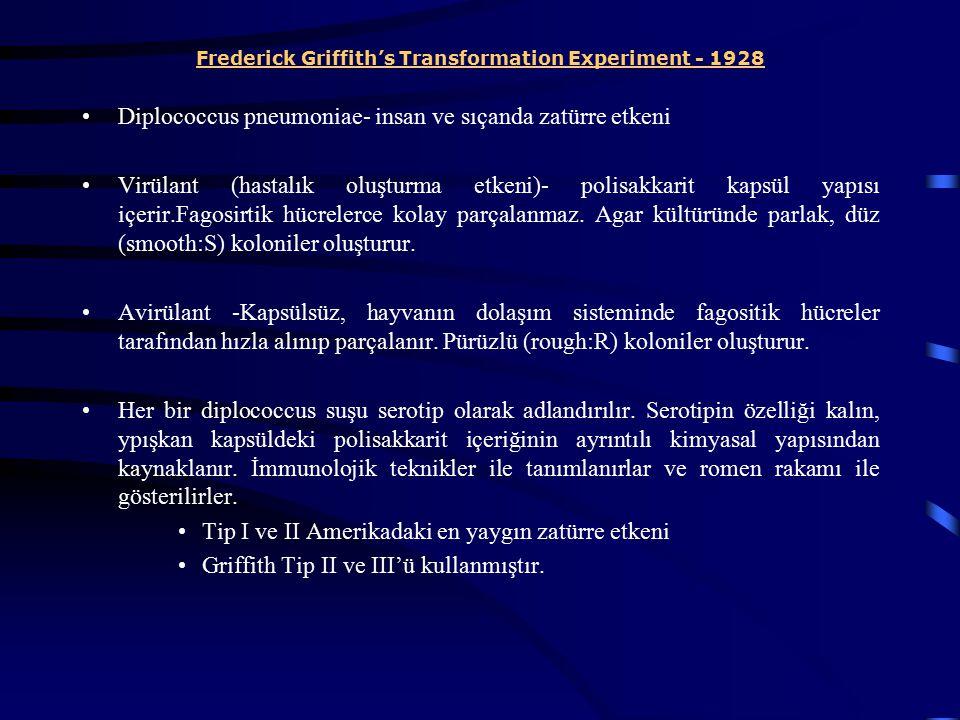 Frederick Griffith's Transformation Experiment - 1928 Diplococcus pneumoniae- insan ve sıçanda zatürre etkeni Virülant (hastalık oluşturma etkeni)- po