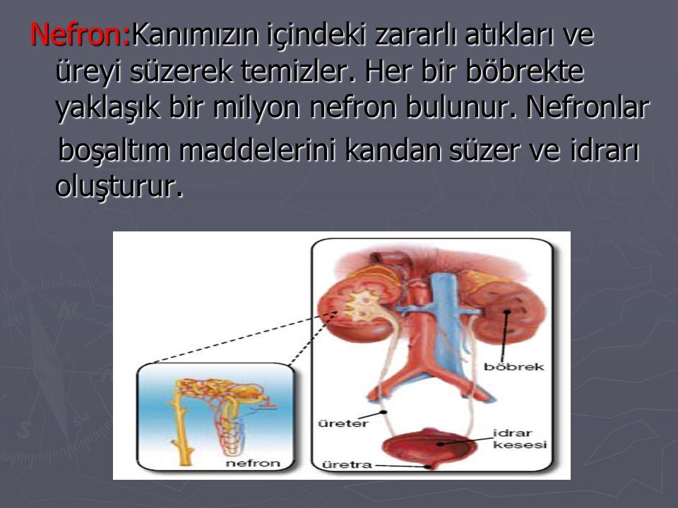 Nefron:Kanımızın içindeki zararlı atıkları ve üreyi süzerek temizler. Her bir böbrekte yaklaşık bir milyon nefron bulunur. Nefronlar boşaltım maddeler