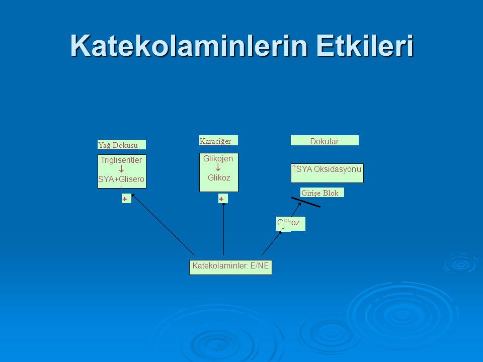 Katekolaminlerin Etkileri Glikojen  Glikoz Trigliseritler  SYA+Glisero l Yağ Dokusu Karaciğer  SYA Oksidasyonu Katekolaminler: E/NE Dokular Glikoz
