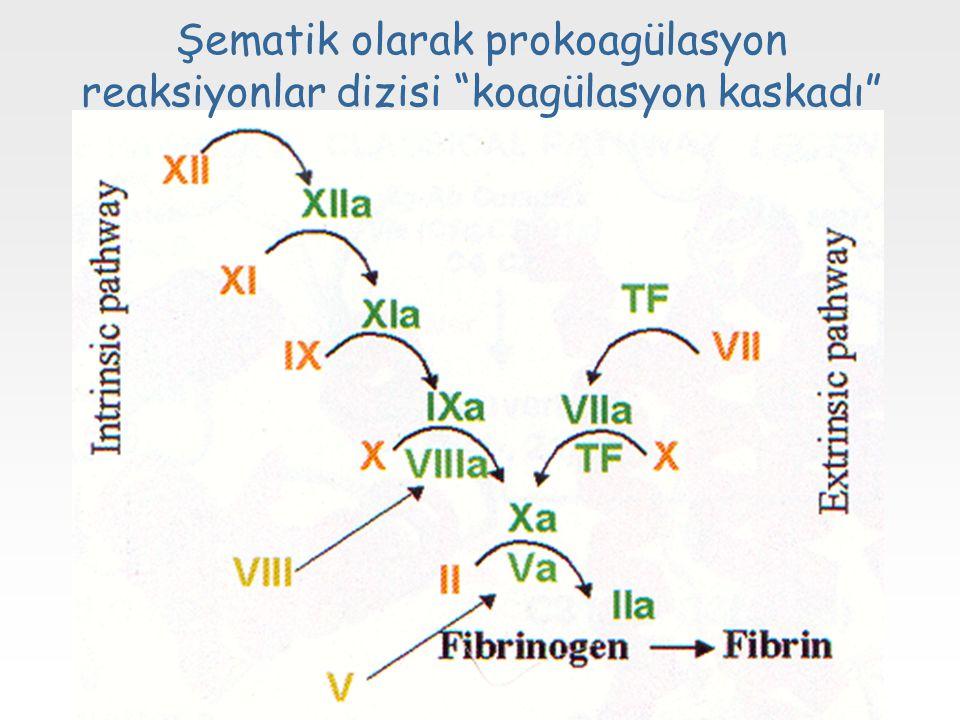 """Şematik olarak prokoagülasyon reaksiyonlar dizisi """"koagülasyon kaskadı"""""""