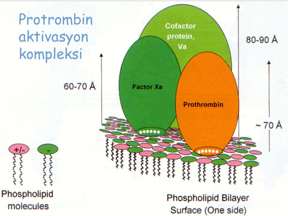 Protrombin aktivasyon kompleksi