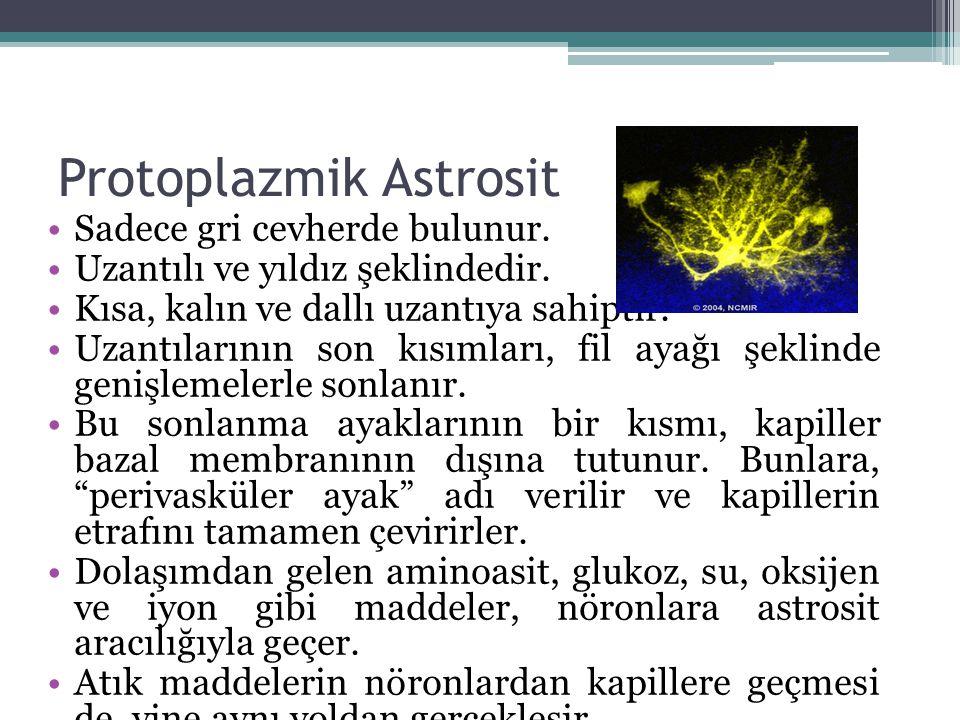 Protoplazmik Astrosit Sadece gri cevherde bulunur. Uzantılı ve yıldız şeklindedir. Kısa, kalın ve dallı uzantıya sahiptir. Uzantılarının son kısımları
