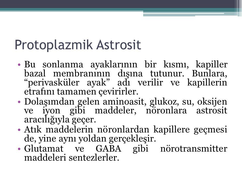 """Protoplazmik Astrosit Bu sonlanma ayaklarının bir kısmı, kapiller bazal membranının dışına tutunur. Bunlara, """"perivasküler ayak"""" adı verilir ve kapill"""