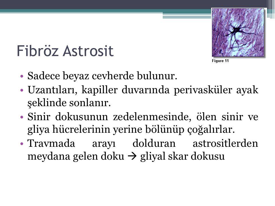 Fibröz Astrosit Sadece beyaz cevherde bulunur. Uzantıları, kapiller duvarında perivasküler ayak şeklinde sonlanır. Sinir dokusunun zedelenmesinde, öle
