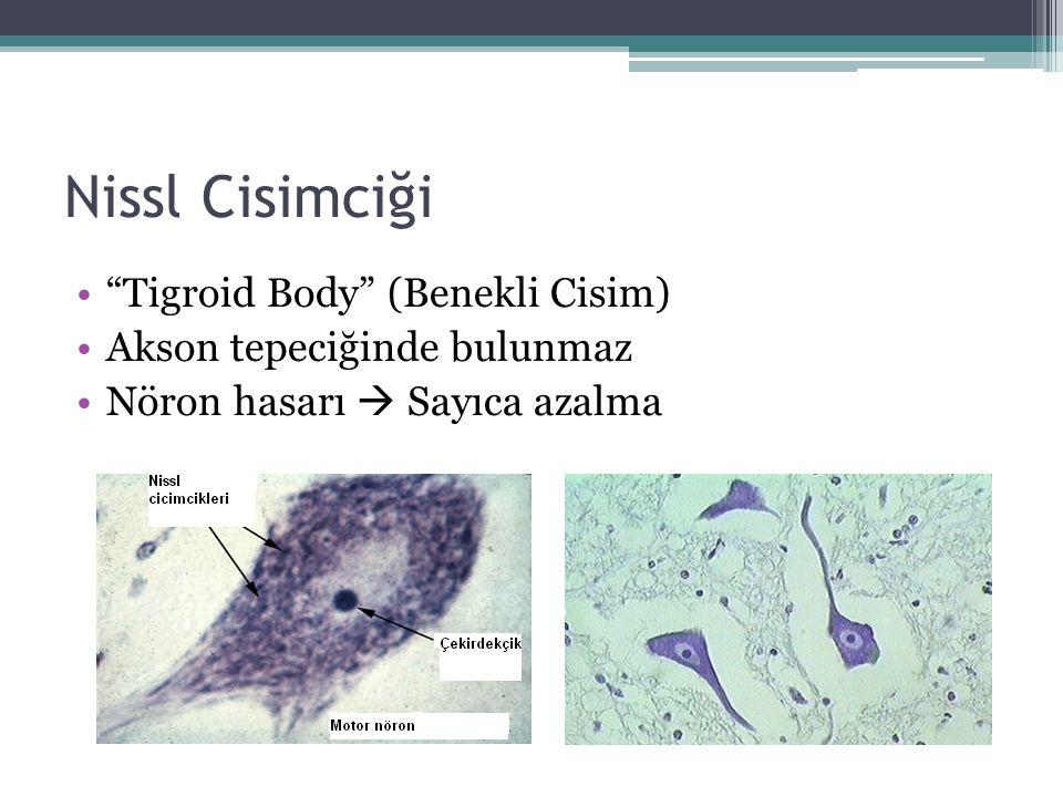 """Nissl Cisimciği """"Tigroid Body"""" (Benekli Cisim) Akson tepeciğinde bulunmaz Nöron hasarı  Sayıca azalma"""