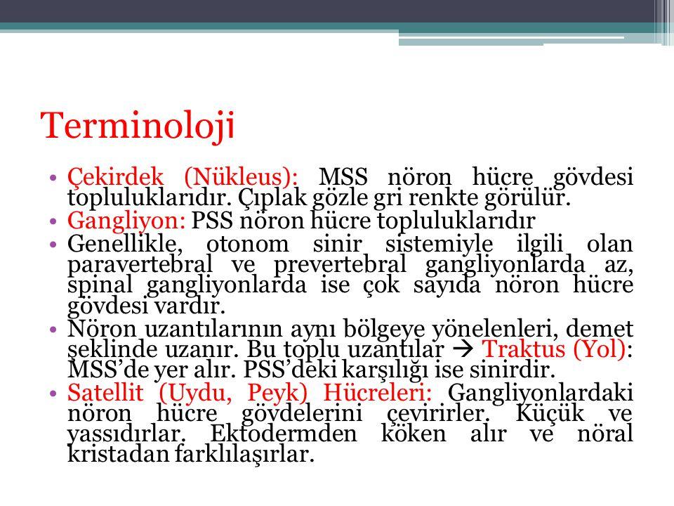 Terminoloj i Çekirdek (Nükleus): MSS nöron hücre gövdesi topluluklarıdır. Çıplak gözle gri renkte görülür. Gangliyon: PSS nöron hücre topluluklarıdır