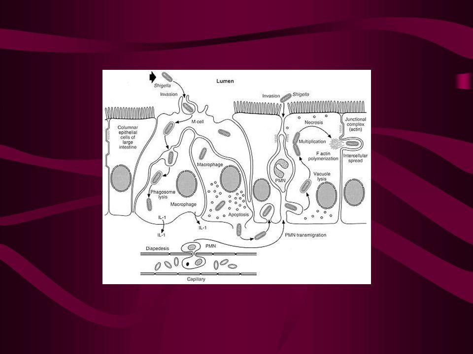 200'den az basilin ağızdan alınmasıyla infeksiyon başlar Kolon epiteline invaze olarak hücrelerde çoğalırlar Lamina propriada enflamatuvar süreç başlar yaygın inflamasyon gelişir.