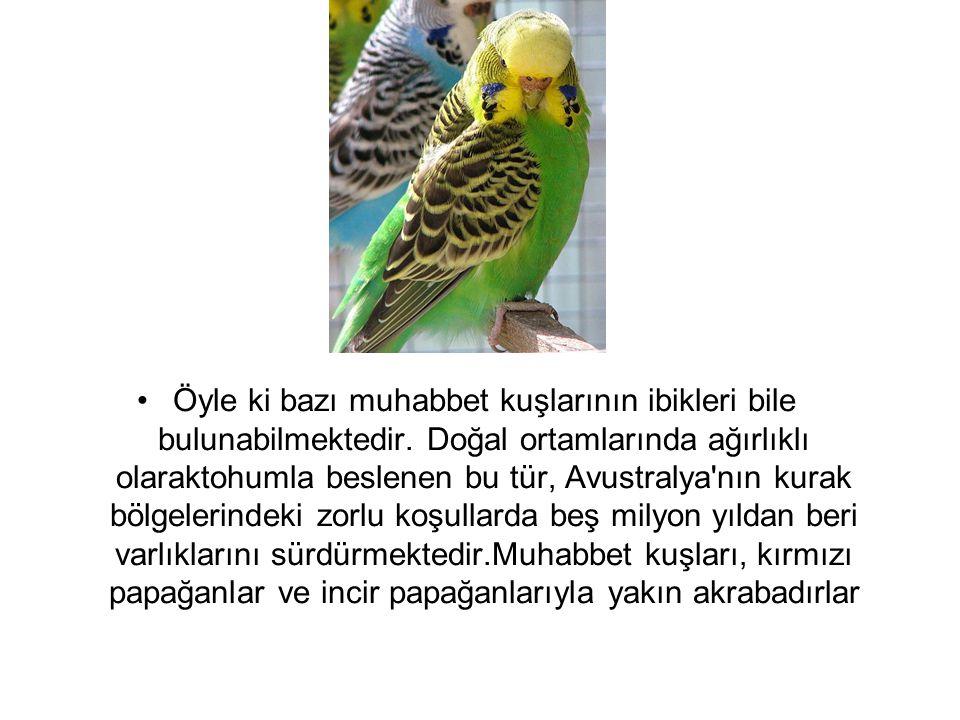 Öyle ki bazı muhabbet kuşlarının ibikleri bile bulunabilmektedir. Doğal ortamlarında ağırlıklı olaraktohumla beslenen bu tür, Avustralya'nın kurak böl
