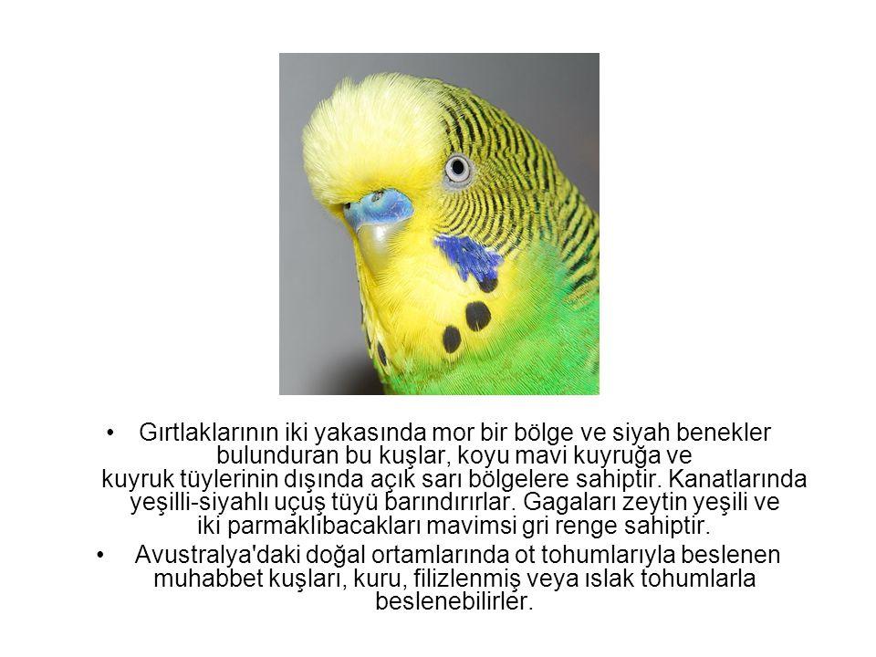 Erkek muhabbet kuşları, konuşma özellikleriyle en bilindik papağan türlerinden biridir.