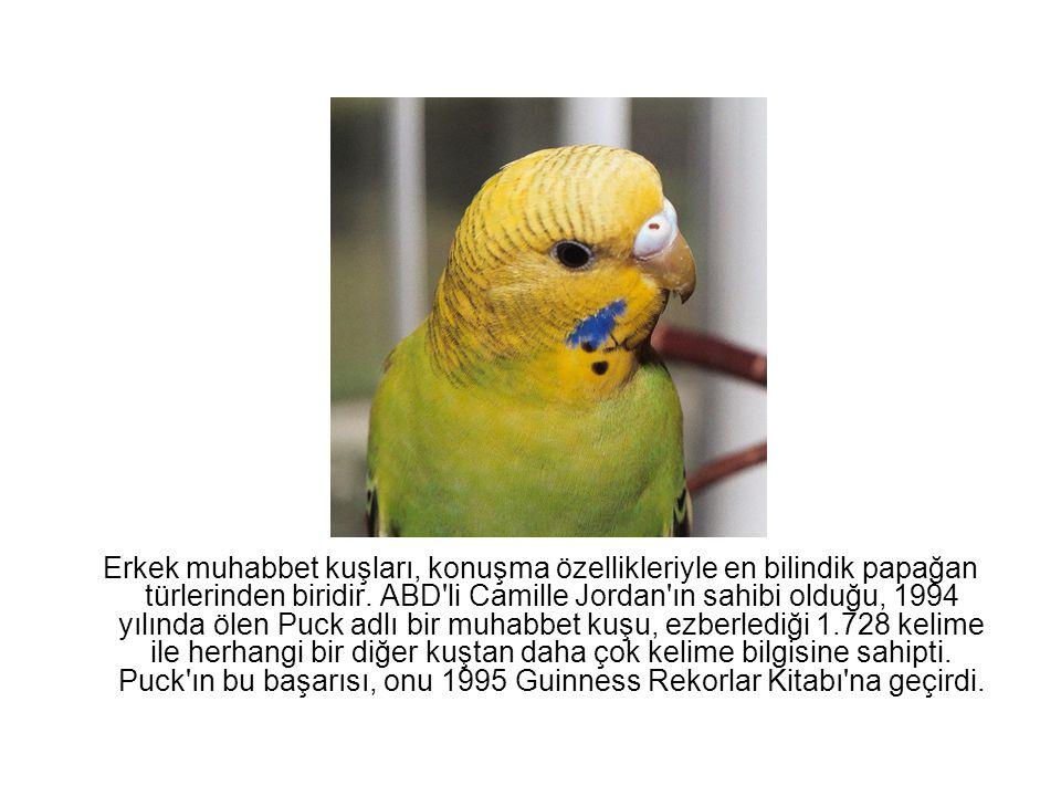 Erkek muhabbet kuşları, konuşma özellikleriyle en bilindik papağan türlerinden biridir. ABD'li Camille Jordan'ın sahibi olduğu, 1994 yılında ölen Puck